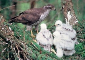 Female goshawk with brood of three. I later caught one of the young breeding as an adult a few miles awayPhoto: Paul Toyne